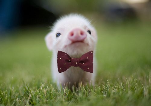 Cute Chubby Babies Wallpapers Mini Pig Google Search Farm Pinterest Search Mini