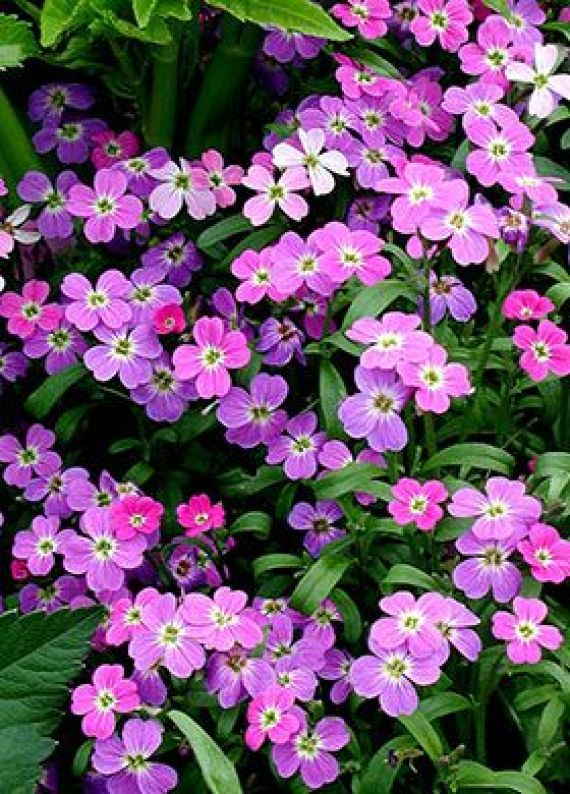 La Malcolmia appartiene alla grande famiglia delle Brassicaceae o Cruciferae