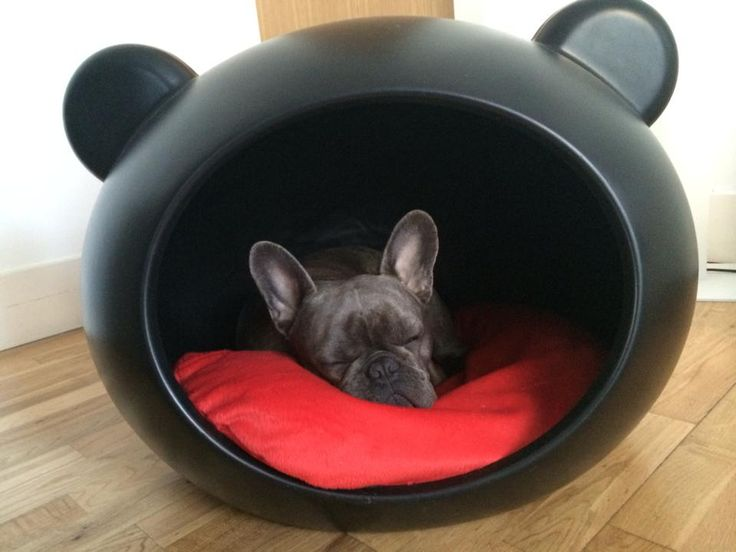French bulldog called Eddie in one of our Guisapet Dog
