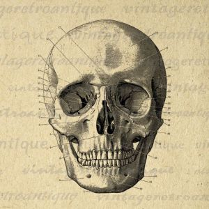 Vintage anatomical skull diagram | Diagrams, illustrations