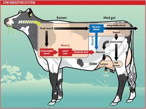 Diagram of cow digestion Cool pic that explains the