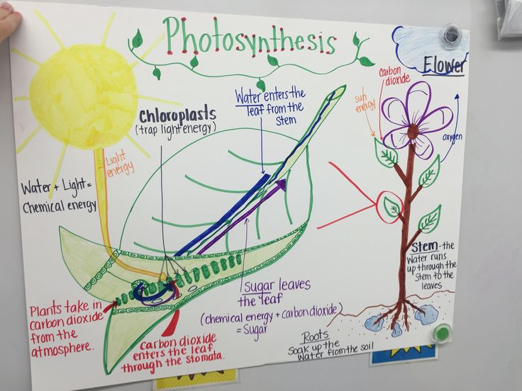 photosynthesis process diagram for 5th grade 240v 24v transformer wiring a chart i made on the of photosynthesis. | anchor charts ️ pinterest ...