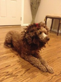 """The Cowardly Lion dog 