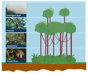 Diagram of the four layers of the rainforest: forest floor