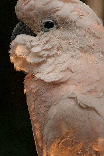 56 Best Images About Cockatoo On Pinterest Royalty Free