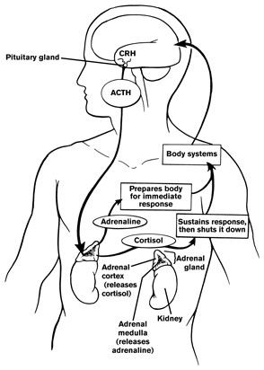 The pathway for cortisol release. The causes for the