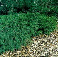 Siberian Carpet Cypress This plant is a perfect evergreen ...