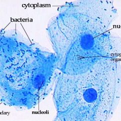 Animal Cell Diagram Labeled With Functions Jcb 4cx Wiring Epithelial Cells- Stained Methylene Blue, Labeled. Know Membrane, Nucleus, And ...