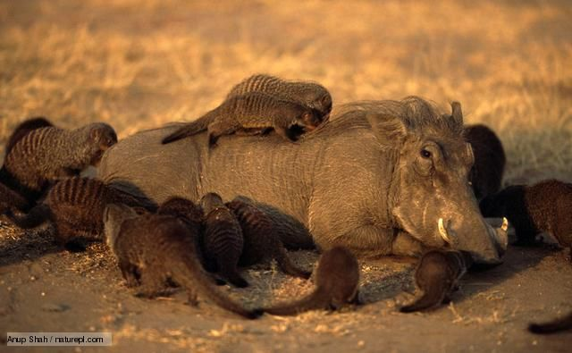 Warthogs Have A Symbiotic Relationship With Banded