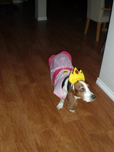 Bailey the Basset Hound as Princess Peach!
