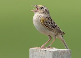 63 best images about Indiana Birds on Pinterest  Bird