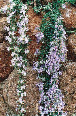 rosemarinus officinalis rosemary