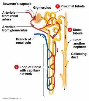 Nephron Diagram | ANATOMY | Pinterest | Biology, Colors