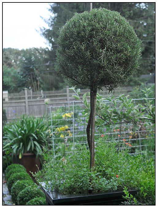 How To Train Rosemary Topiary From A Cutting Httpwwwgrowingwithplantscom GARDENS