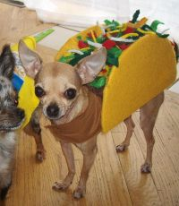 chihuahua in a taco costume | I just died.. | Pinterest ...