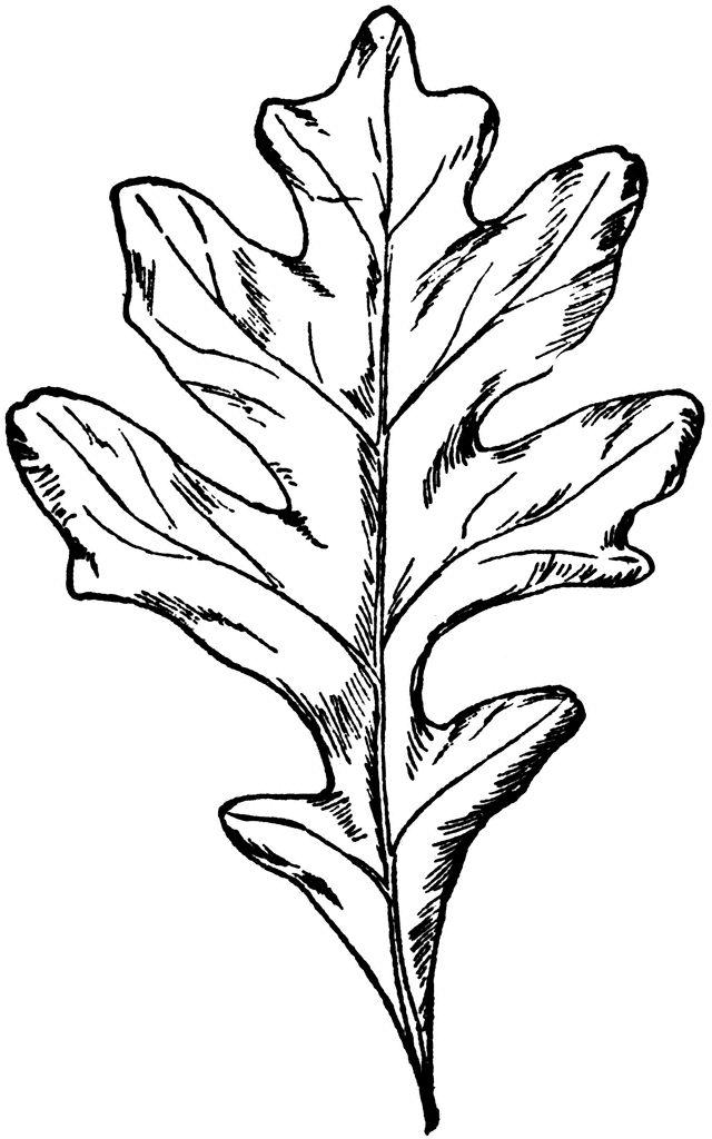 Top 25+ best White oak tree ideas on Pinterest