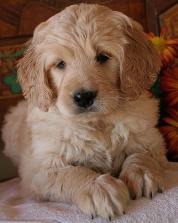 goldendoodle dogs cute  Just plain cute  Pinterest