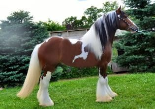 84 best images about TriColor Horses on Pinterest