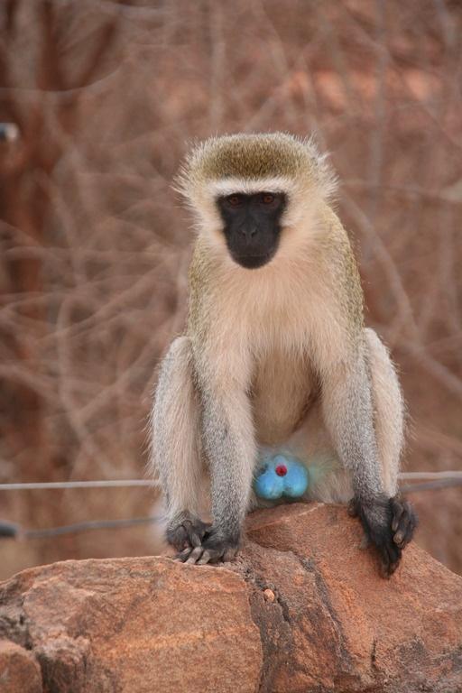 The blueballed monkey  Mal dAfrica  Pinterest  The o