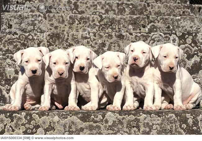 17 Best images about Dogo Argentino on Pinterest  Pets