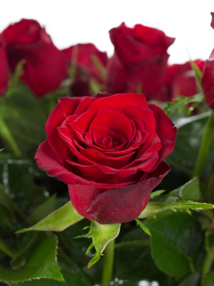 Die 25 besten Ideen zu Rosensorten auf Pinterest  Weihnachten 3 reich David austin rosen und