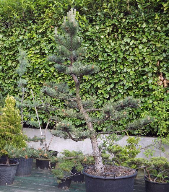 Pine Weeping Trees Pruning