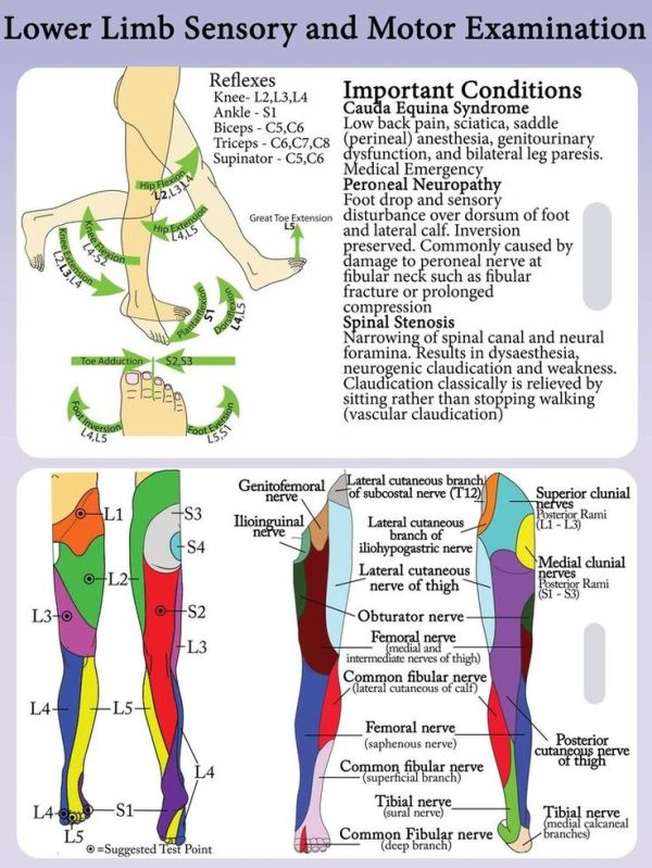 lower extremity dermatomes and myotomes Google Search