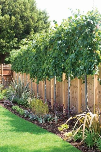 10+ best ideas about Privacy Trees on Pinterest