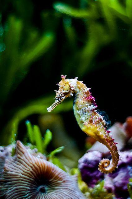 Endangered Rainbow Seahorse…