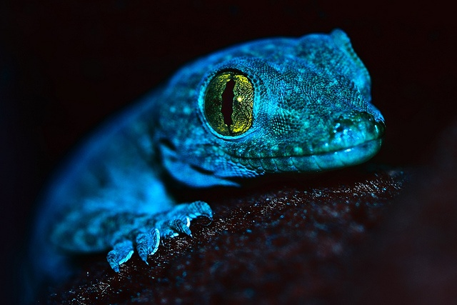 Cute Baby Gecos Wallpaper Blue Reptile Explored Fp By Hopeq8 Via Flickr