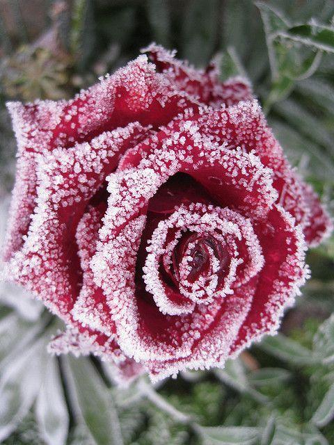 Kerstsfeer Slaapkamer Idee: maak rode kunststof rozen ijzig met een klein beetje doorzichtige lijm en nep sneeuw (op de lijm strooien voordat deze gedroogd is):