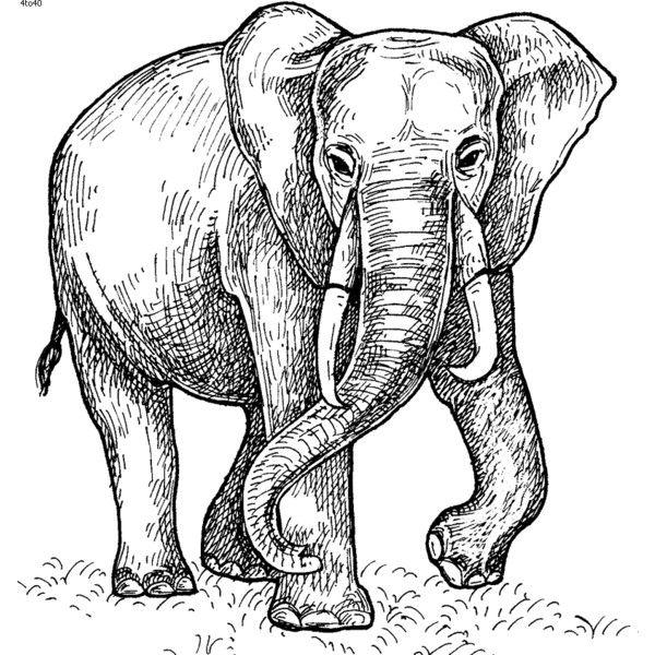 1000+ ideas about Drawings Of Elephants on Pinterest