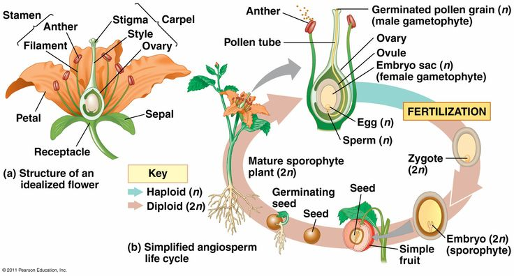 bean seedling diagram towbar electrics wiring angiosperm reproduction | biology 4b pinterest plants