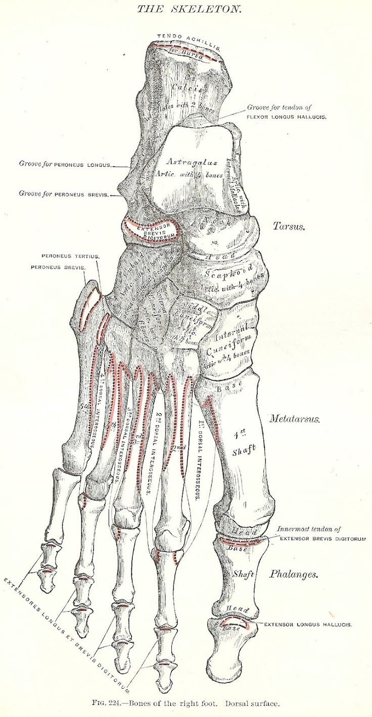 1000+ images about Atlas of anatomy on Pinterest