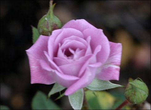 Vis Violet miniature rose bought at Food Basics early