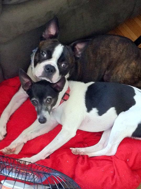 1000 Images About Rat Terrier Amp Beagles On Pinterest