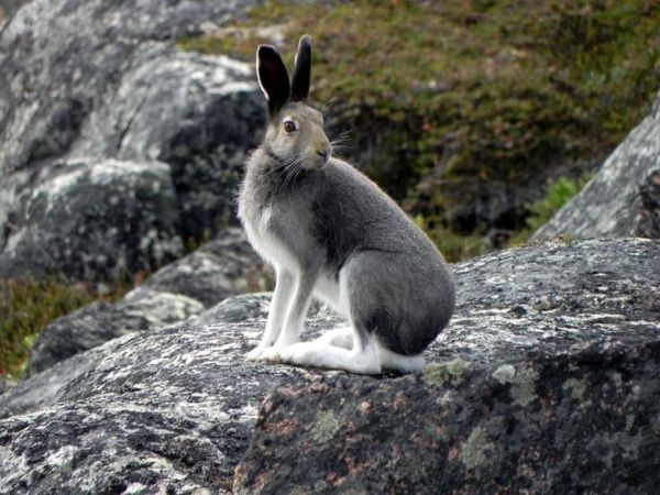 17 Best images about Arctic Hare on Pinterest Arctic