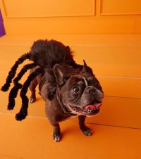 1000+ ideas about Dog Spider Costume on Pinterest | Little ...