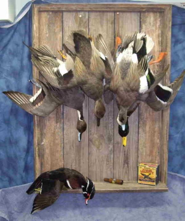 dead mount duck taxidermy For the Boys Pinterest