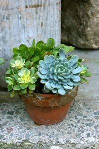 182 best images about Succulents on Pinterest | Gardens ...