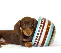 Tiniest Tea Cup Dachshund Puppy | Teacup KISS our TINY ...