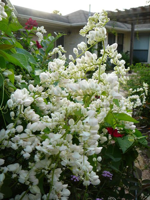 White Coral Vine  Also Could Be Planted In Combination