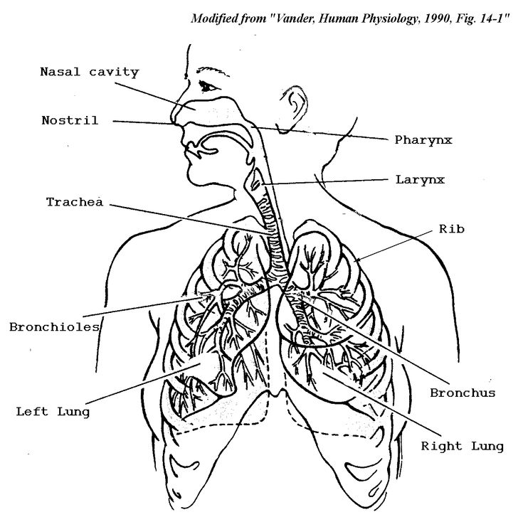 Respiratory system, Coloring pages and Coloring on Pinterest