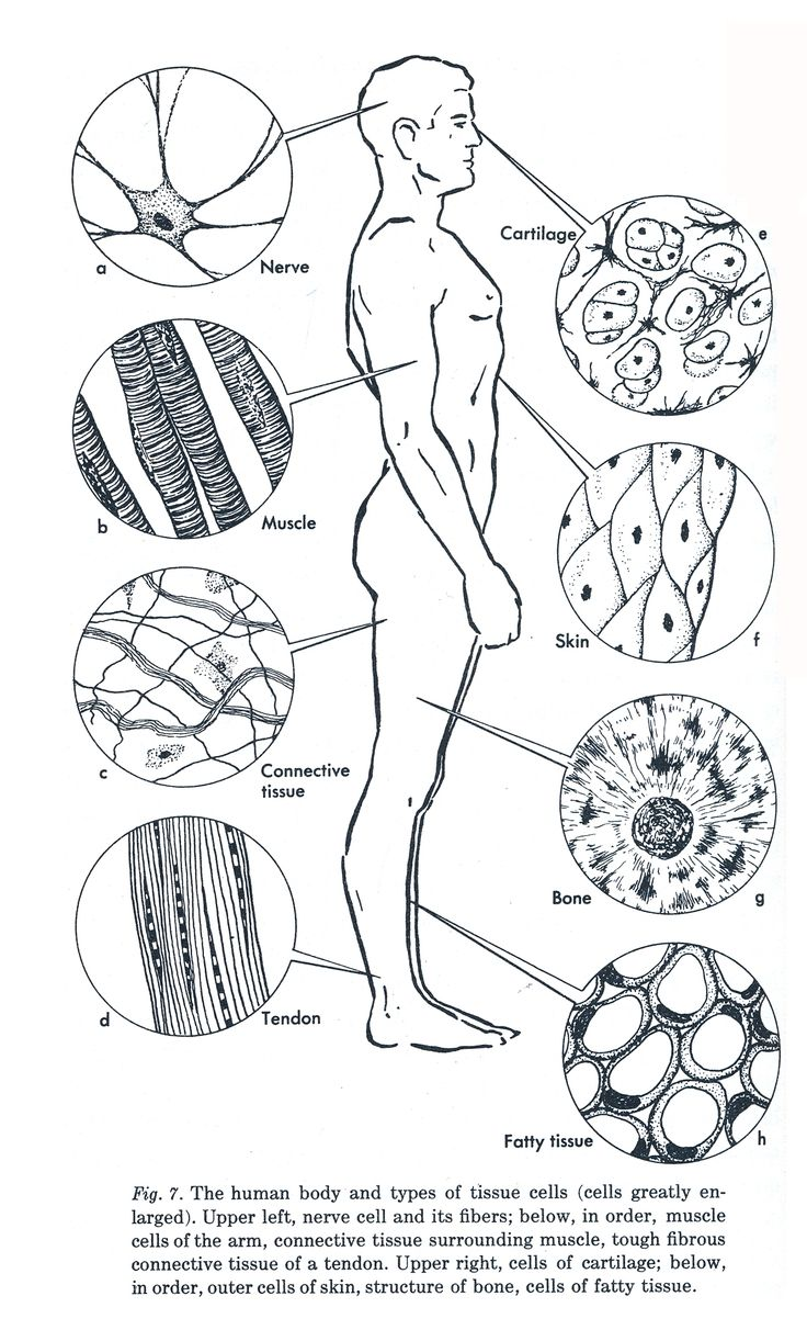 ANATOMY: Diagram of Human Tissue. A tissue is made up of a