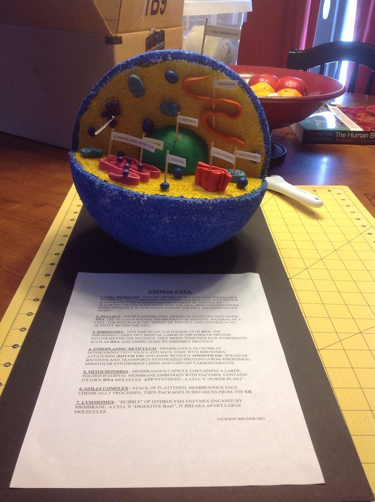 Plant Cell Diagram For Kids