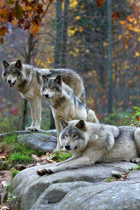 25 Best Ideas About Wolves On Pinterest Wolf Puppies Two Wolves And Black Wolves