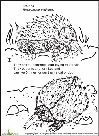 Echidna, Worksheets and Coloring pages on Pinterest