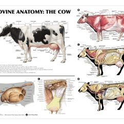 Excretory System Diagram Labeled Left Brain Right Cow Anatomy | Vet Stuff Pinterest Search, Chang'e 3 And