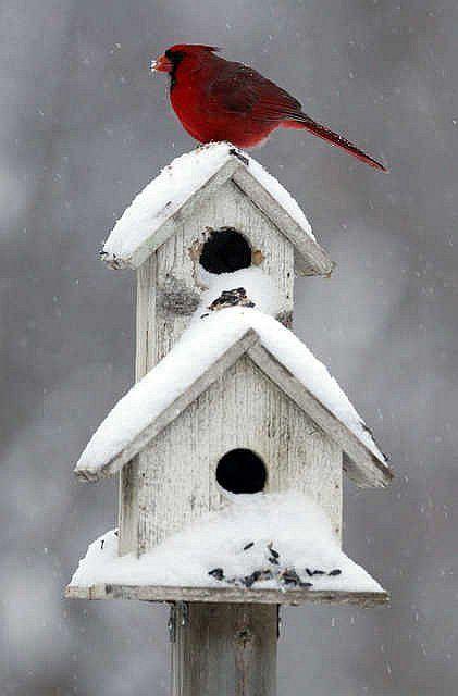 17 Best ideas about Cardinals on Pinterest  Cardinal