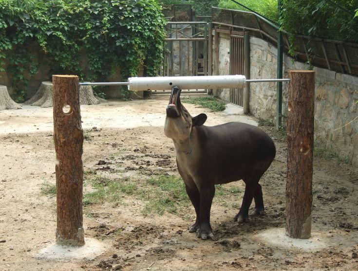 tapir enrichment  Google Search  Animal Enrichment